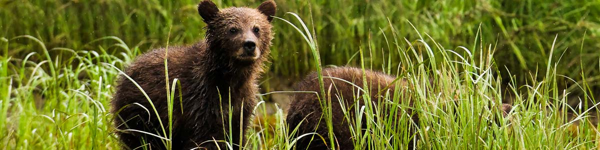 A grizzly turns to look toward the camera in the wet grass