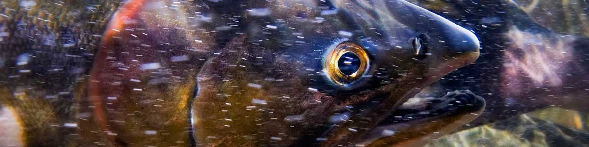 Underwater close up of a salmon head