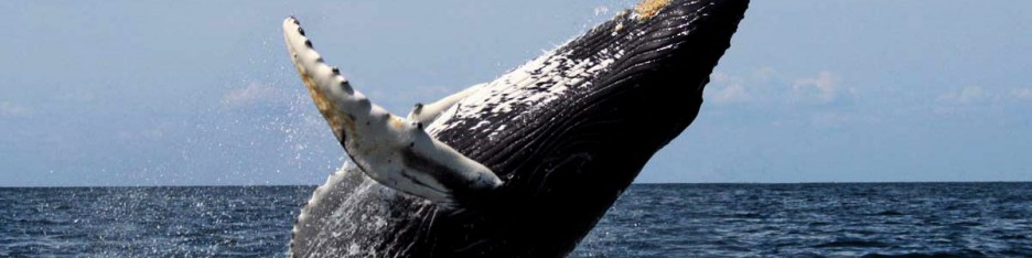A humpback jumps into the air in the Pacific ocean.