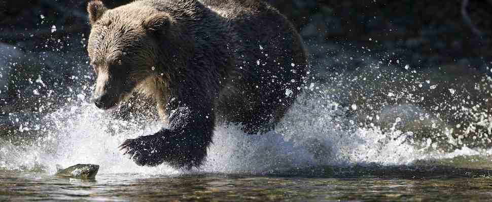 Too many grizzlies killed in hunt