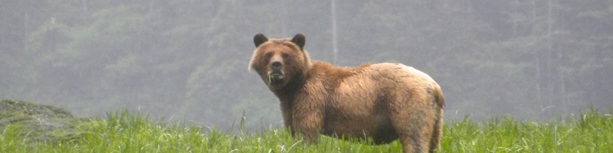 Young grizzly bear exercising his omnivory through herbivory