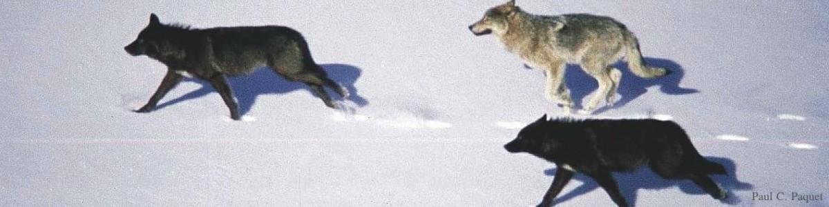 3 running wolves-PCP wm