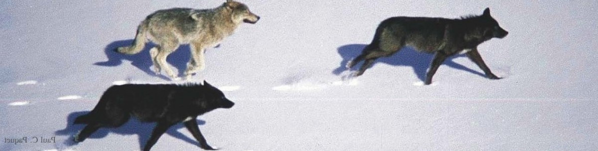 Running for their lives : Stop BC's aerial gunning of wolves