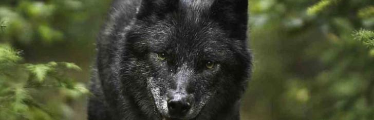 BH_WolfRunning-cropped horizontal