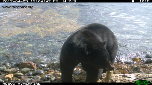 Black bear eating herring eggs - Caroline Fox