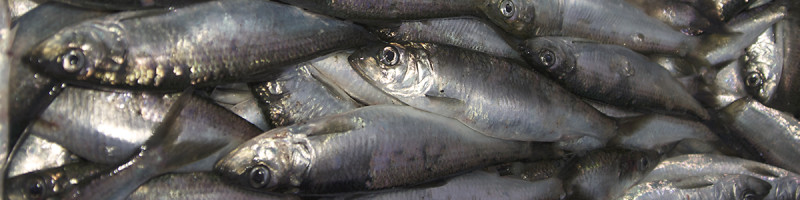 Pacific herring top banner