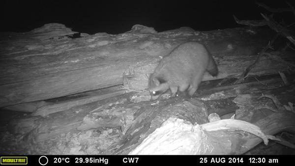 Raccoon foraging in the intertidal zone near Tofino