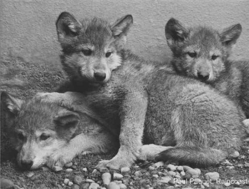 Three wolf pups cuddled together in black and white