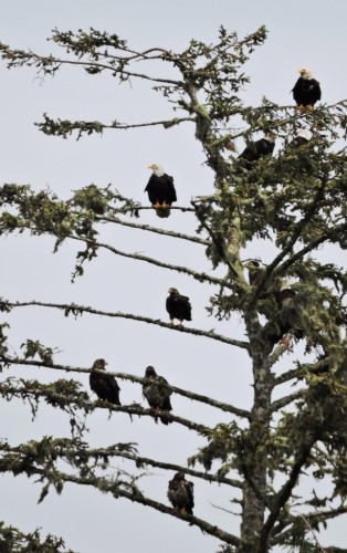 Many bald eagles in a tree