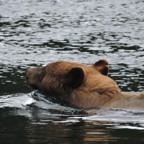 The head of swimming grizzly bear in one of the small channels