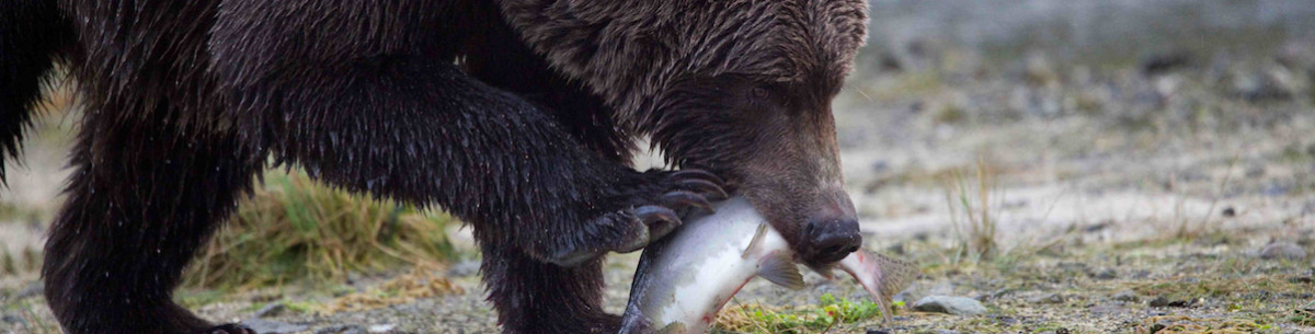 Grizzly & human conflict increases when salmon abundance is low