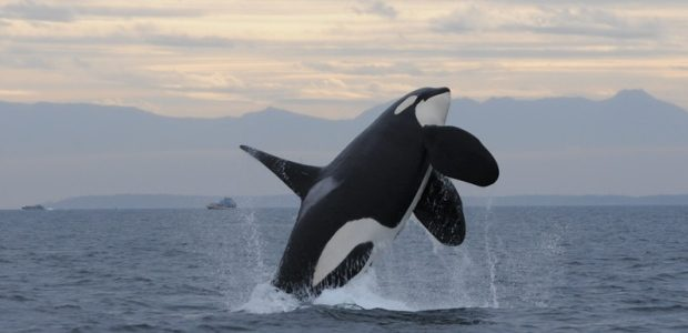 Killer Whale in the Pacific