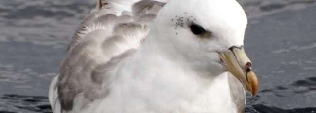 cfox_northern-fulmar-small