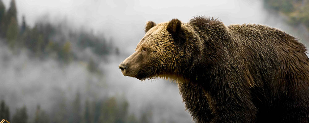 A grizzly stares into the fog