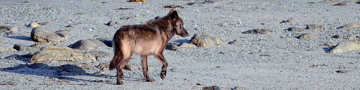 A wolf walks along a sandy beach on an island in the Great Bear Rainforest