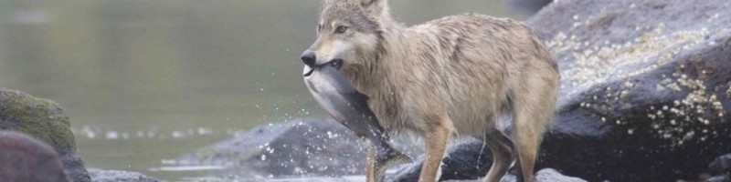 A wolf walks in the shallows, with a salmon in its mouth