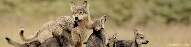 A wolf pack plays in a meadow