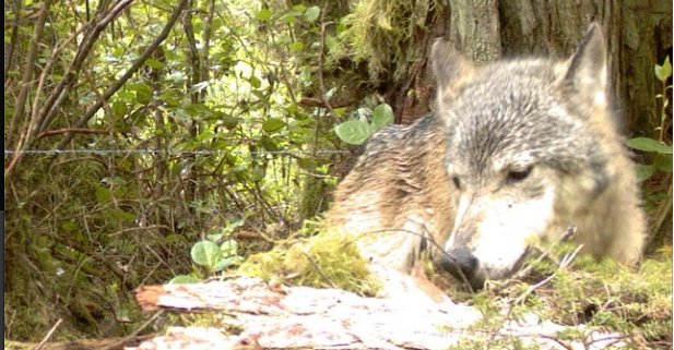 Coastal wolves distinct from their mainland cousins says Raincoast