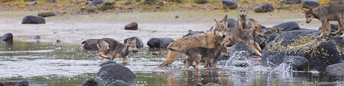 Wolves splash around in an intertidal zone of the Great Bear Rainforest