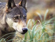 Wolves on BC island genetically different from those on mainland
