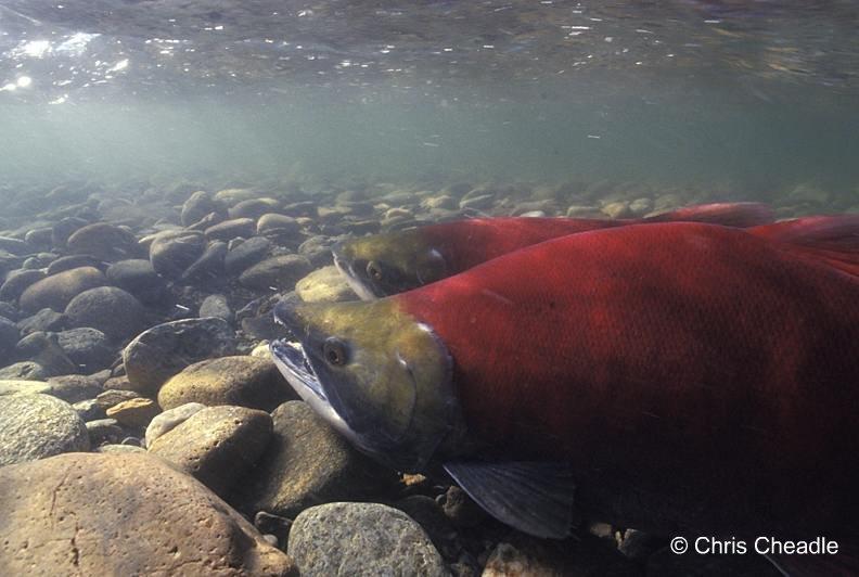underwater photo of sockeye salmon in BC river