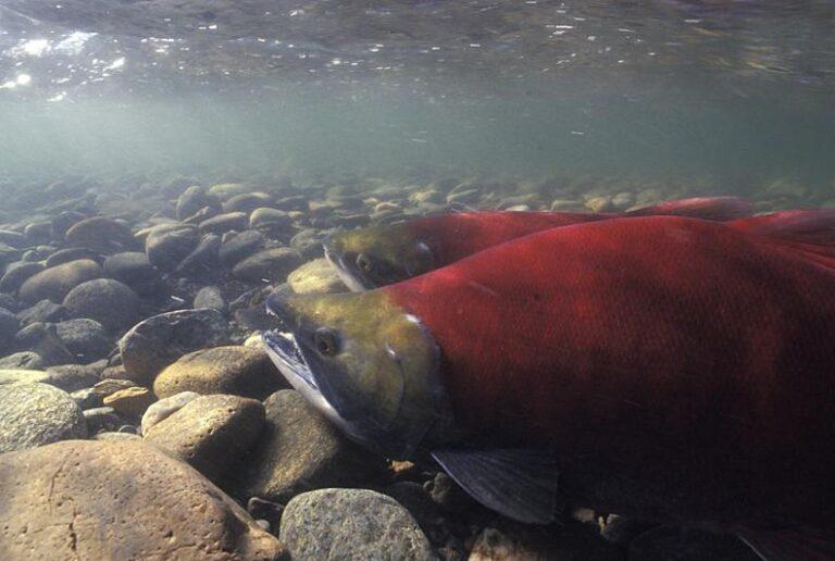 Canadian NGOs challenge unsustainable Alaskan salmon fisheries