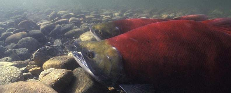 A bright red sockeye salmon on the bottom of a river in the rocks.