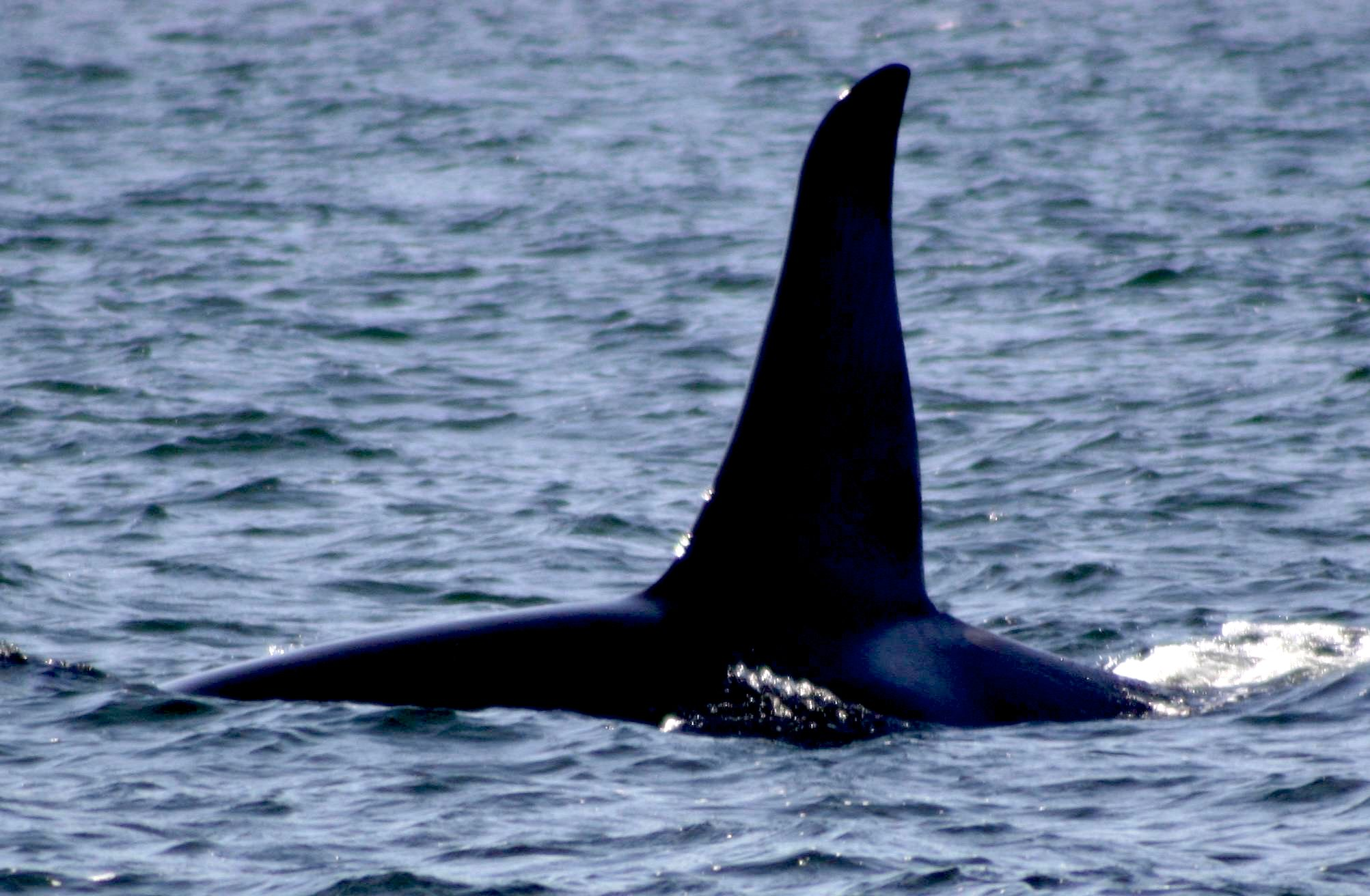 Feds sued over failure to protect killer whales