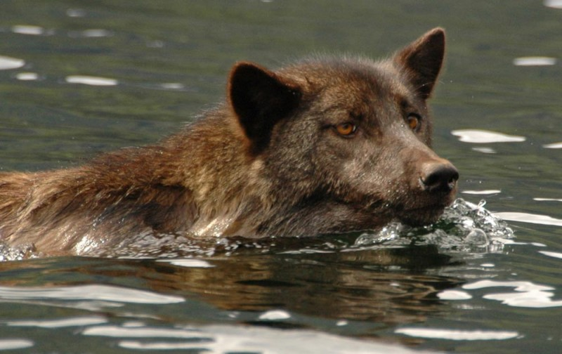 A wolf with dark colourings, swims in the ocean