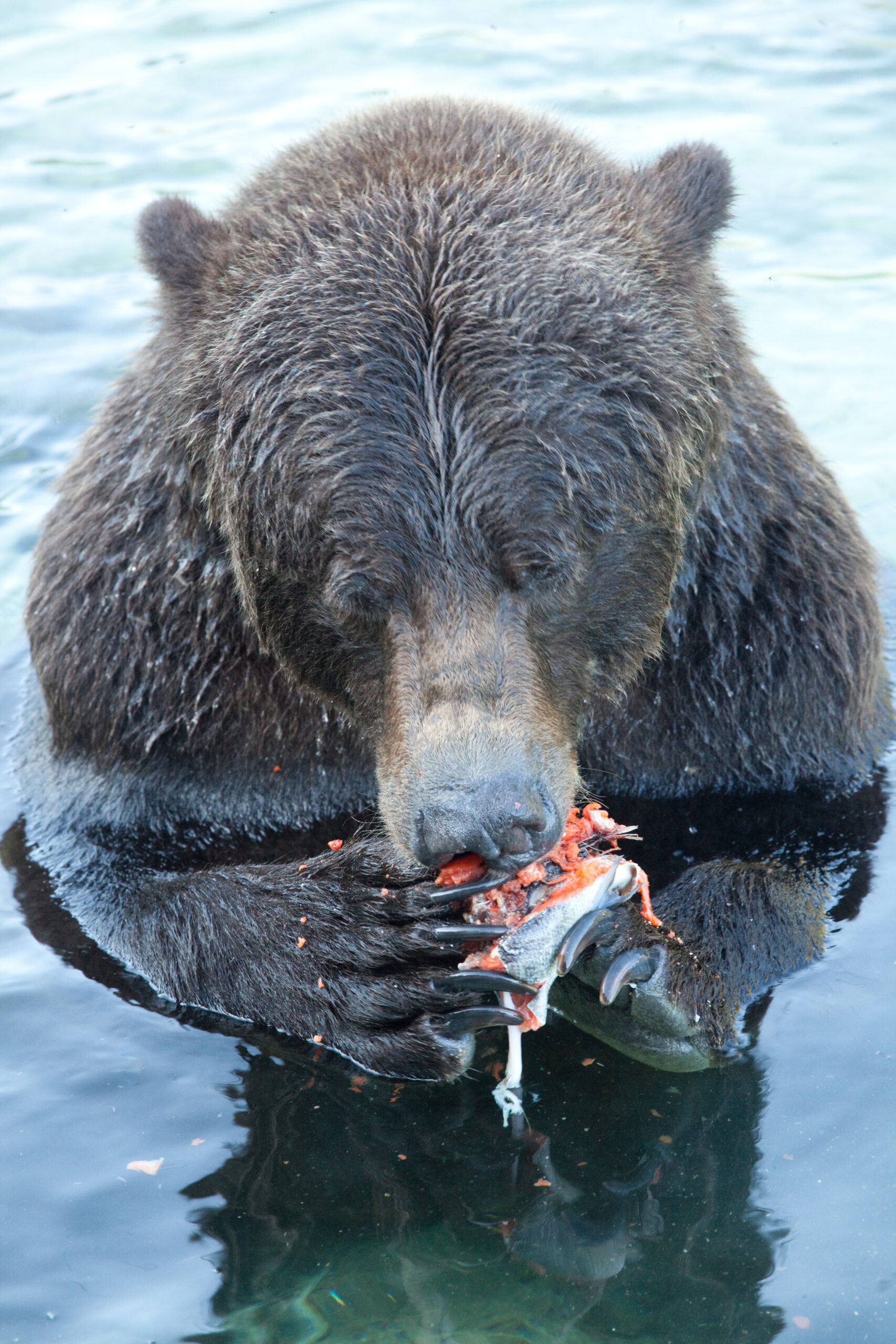 A close up of a grizzly eating a salmon with his paws