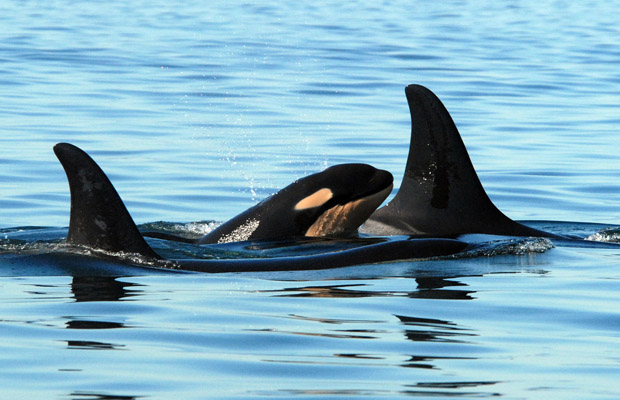 A killer whale calf surfaces with a group of whales.