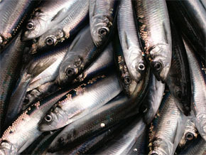 Herring:  Food for the masses, food for all classes