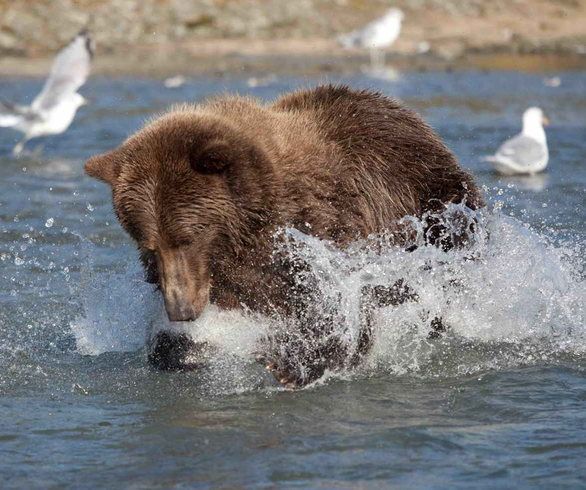 coastal grizzly fishing for salmon, Great Bear Rainforest