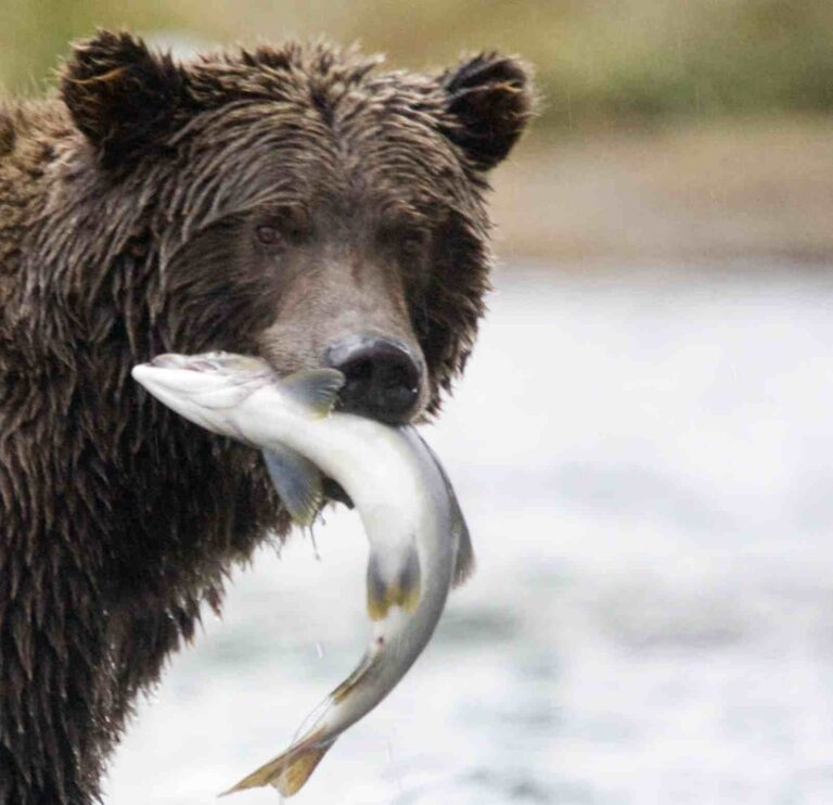 Salmon management should include bears, whales, and other wildlife