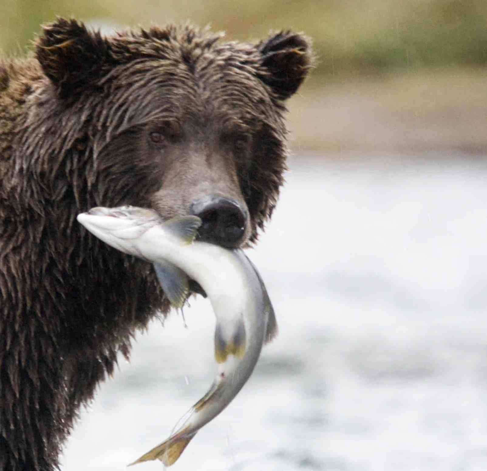 Close up of a grizzly with a salmon in its mouth