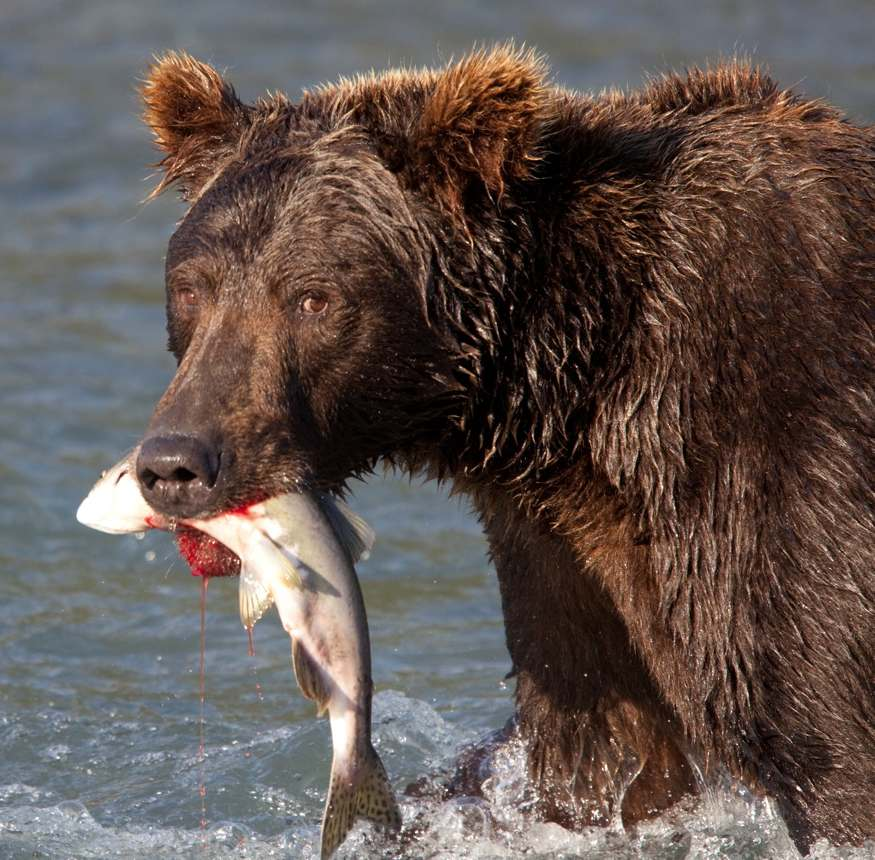 Grizzly wades through water with salmon in its mouth