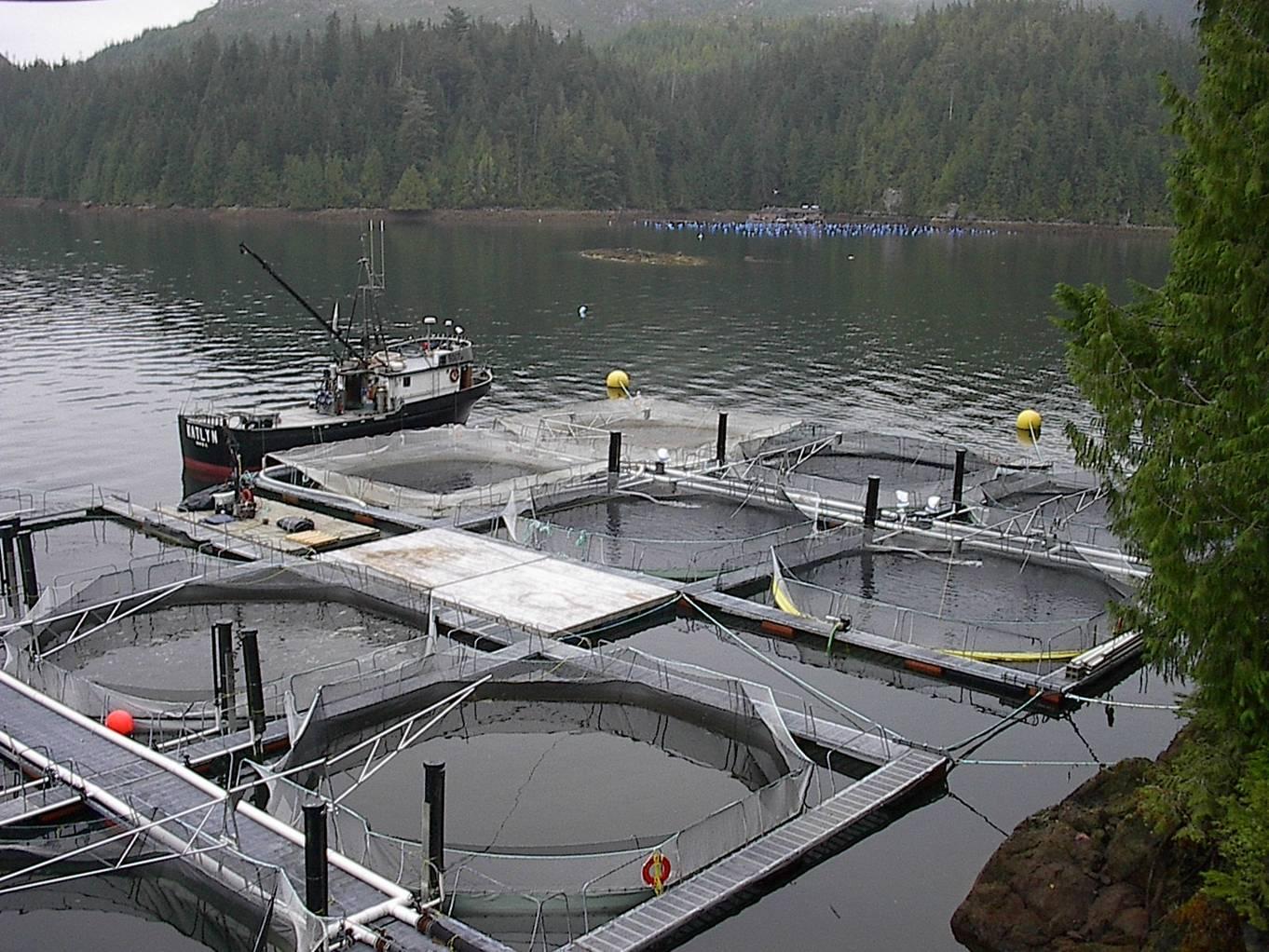 Fish farms on the BC coast threaten wild salmon.