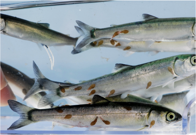 Juvenile sockeye infected with sea lice as they migrate past fish farms in the Discovery Islands