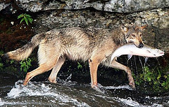 salmon-eating wolves of the Pacific coast