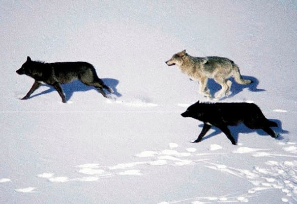 Grey wolves running in the snow in a pack.