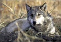 A wolf lies in the grass, blending into the background