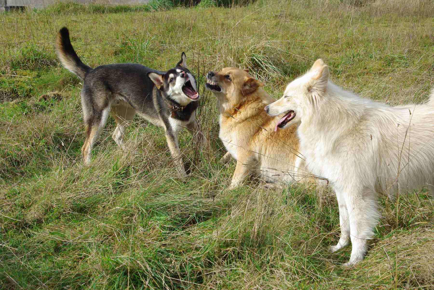 Three dogs playing and barking in a grassy field