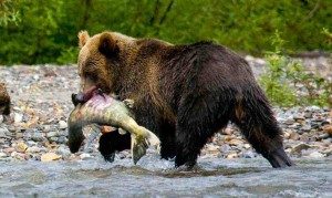 Chum bycatch discarding denies grizzly bears their quota