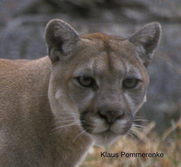 Cougars: British Columbia's Neglected Carnivore