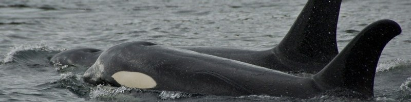 Two killer whales swimming in the ocean