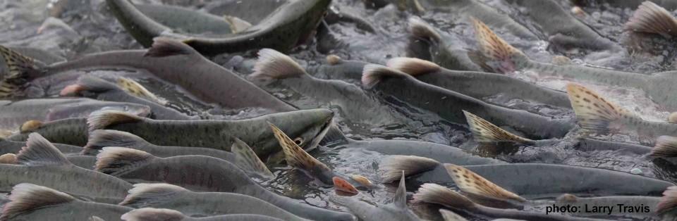 Pink salmon swimming upstream