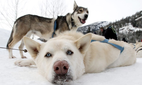 The bloody lesson of the Whistler sled dog slaughter