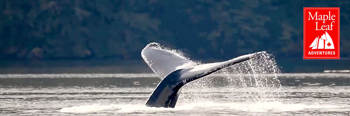 Maple Leaf Adventures has announced a major donation: whales agree that this is fantastic.