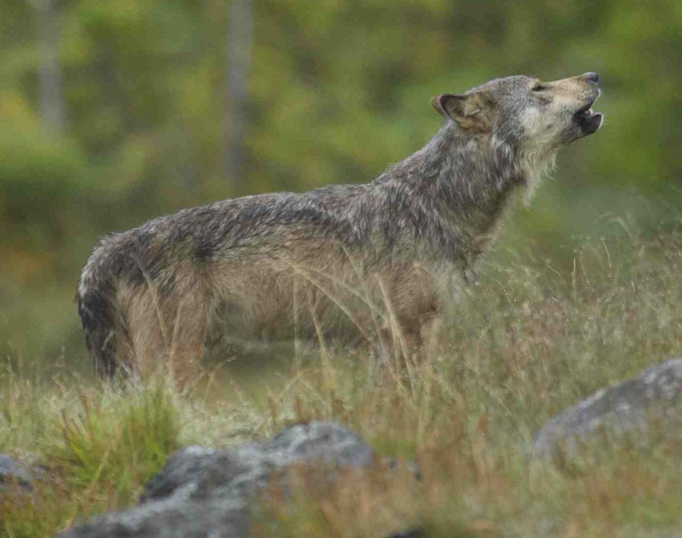 A wolf howls, or possibly yips, in the West Coast grass