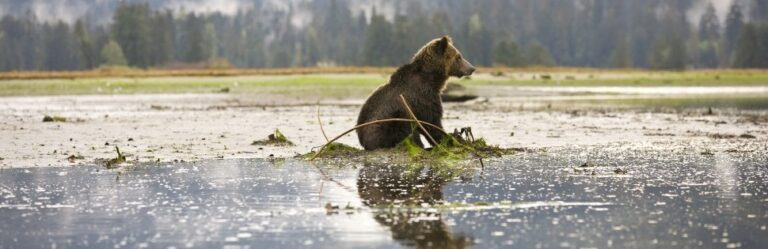 Grizzly bears have colonized unprotected islands in the Great Bear Rainforest: Media Release
